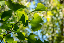 Brightly Green Carved Leaves Of Ginkgo Biloba Close-up In Soft Focus Against A Background Of Blurry Foliage. The Natural Light Of The Sunny Day. The Blue Cloudless Sky. Nature Concept For Design