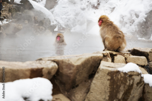 Fotografia, Obraz animals, nature and wildlife concept - japanese macaques or snow monkeys in hot