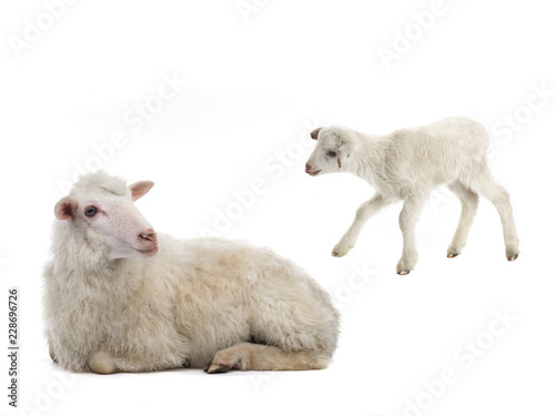 Photo sur Aluminium Sheep baby and sheep on a white