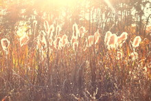 Dry Reeds Grass At Sunset. Lan...