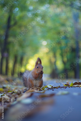 Spoed Foto op Canvas Eekhoorn The squirrel eats nuts on the autumn road in the park