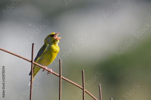 Fotografie, Obraz  European Greenfinch (Chloris chloris), Greece