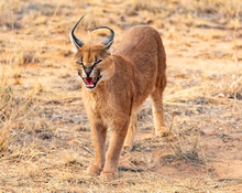 Snarling Male Caracal