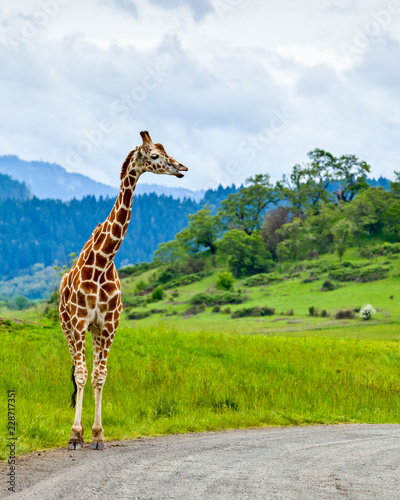 Autocollant pour porte Girafe A giraffe standing by the side of the road like it's waiting at a bus stop