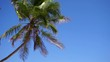 Tropical island palm tree (coconut tree) with green leaves and fruit blowing in the wind against a bright blue sky, sunny day. Close-up Slow motion 50p.