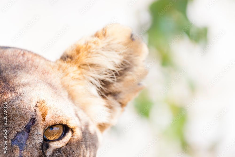 Etosha National Park, Namibia. Scarred female lion (panthera leo) in habitat.