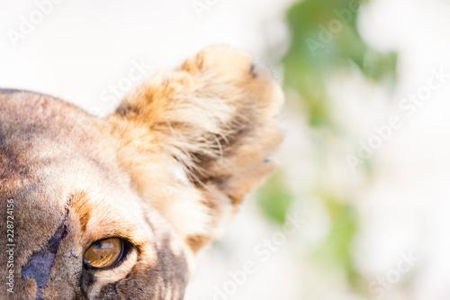 Fototapety, obrazy: Etosha National Park, Namibia. Scarred female lion (panthera leo) in habitat.