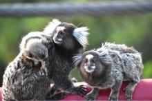 Tres Monos En Brasil