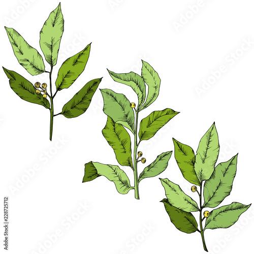 Fototapety, obrazy: Vector green laurus leaf. Leaf plant botanical garden floral foliage. Isolated illustration element. Vector leaf for background, texture, wrapper pattern, frame or border.