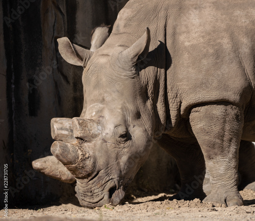 white rhino with a dmaged horn gets a side profile