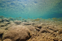 Freshwater Fish Chub, Squalius...