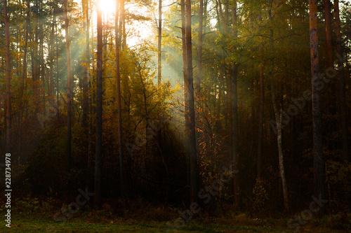 Fototapeten Wald Sunny rays in morning forest. Sunlight between pines. Beautiful landscape