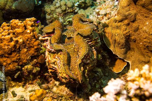 Riesenmuschel (Tridacna)