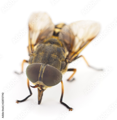 Brown gadfly isolated.