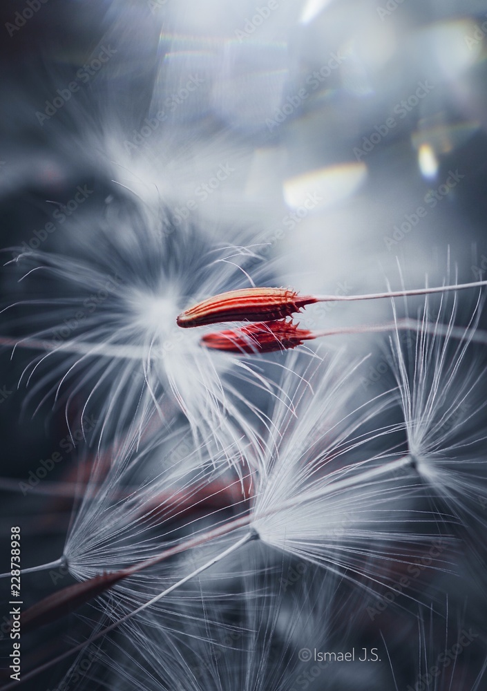 Fototapety, obrazy: white dandelion in the light