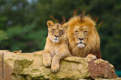 Fototapeta Lions