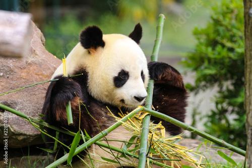 Deurstickers Panda Panda géant