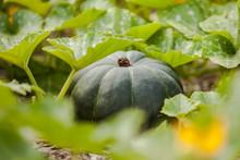 Heirloom Pumpkin Squash