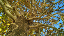 Plane Tree Trunk With Branches And Fall Foliage