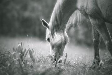 Fototapeta Cheval en noir et blanc