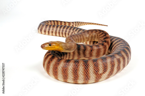 Woma Python (Aspidites ramsayi) - woma python