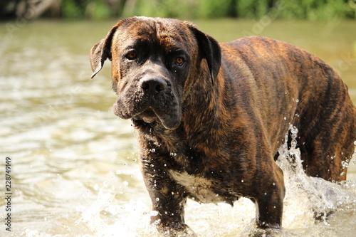 Foto  chien cane corso à la mer