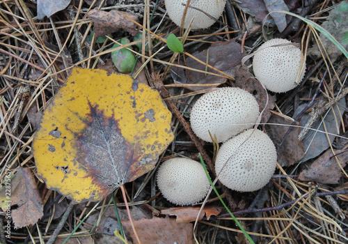Fotografie, Obraz  Group of Lycoperdon perlatum or common puffball