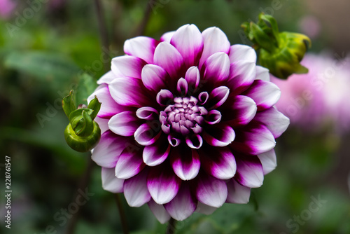 purple and violet dahlia in garden