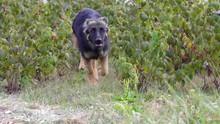 German Shepherd Puppy Runs Through A Raspberry Field Towards The Camera (slow Motion).