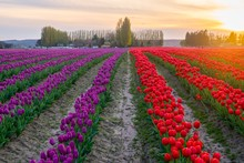 Purple And Red Rows Of Tulips ...