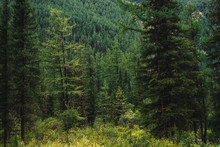 Coniferous Forest In Highlands...
