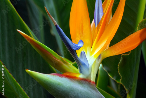 Cuadros en Lienzo Close Up of Bird of Paradise Flower