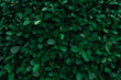 Backdrop of green leaves natural wall.