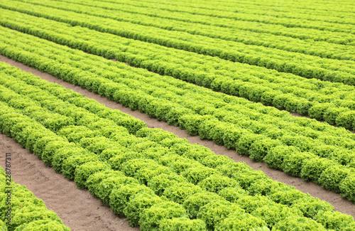 Foto auf Gartenposter Landschappen green field of fresh lettuce