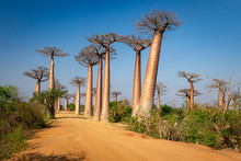Avenue Of The Baobabs Near Mor...