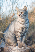 Gray Cat British Breed Sitting In The Grass