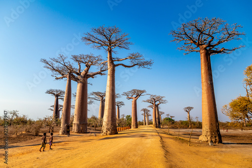 Valokuvatapetti Young boys by the Avenue of the Baobabs near Morondova, Madagascar