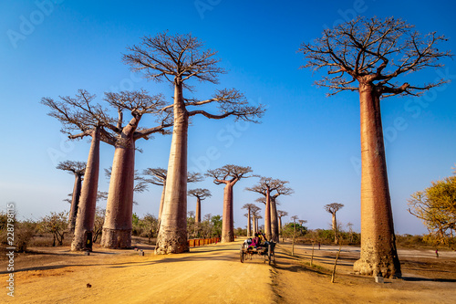 Fotografia, Obraz Horse cart on the Avenue of the Baobabs near Morondova, Madagascar