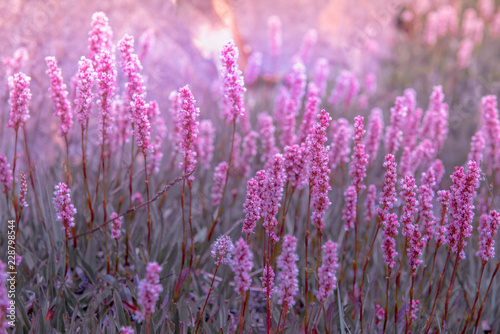 Polygonum affine flowers on the mountain, species of flowering plant in the family Polygonaceae, native to the Himalayas, Kashmir India Wallpaper Mural