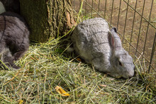 Grey Rabbit Lives In A Cage On The Farm