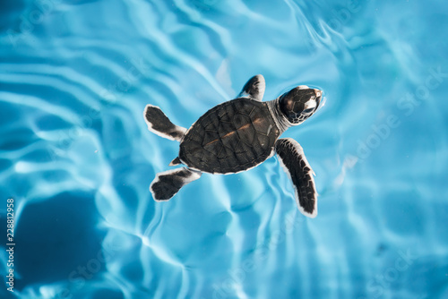 Baby sea turtle swimming in blue water
