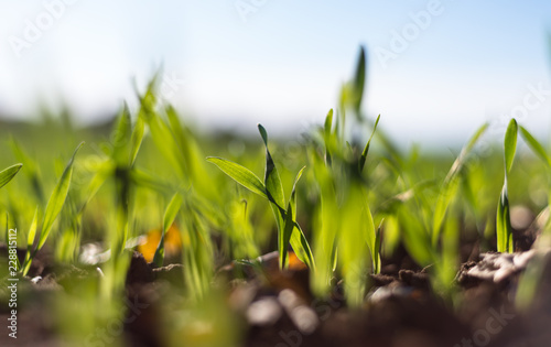 Photo Stands Macro photography Ripening winter cereals, winter grains field lined in September on a beautiful, sunny autumn day. Close-up shot