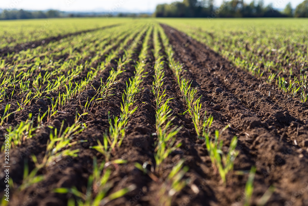 Fototapeta Ripening winter cereals, winter grains field lined in September on a beautiful, sunny autumn day.