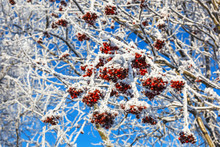 Rowan Tree With Frosty Red Berries