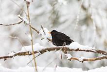 Blackbird On A Snowy Tree Branch
