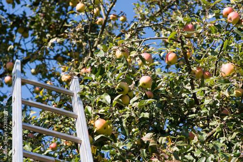 reife Äpfel an einem Baum zum Ernten