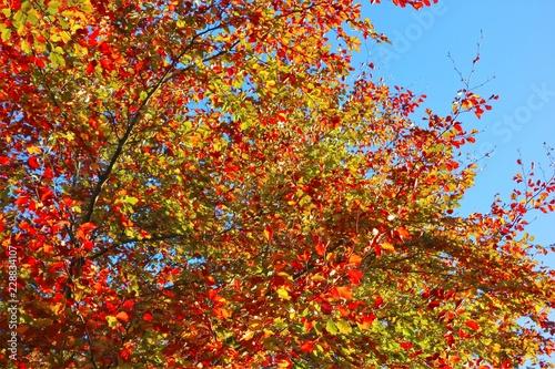 Colourful Autumn leaves against a blue sky.