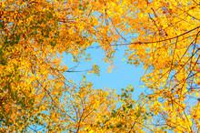 Autumn Tree Tops- Orange Autumn Trees Tops Against Blue Sky. Autumn Trees Branches Against Blue Sky In Sunny Day