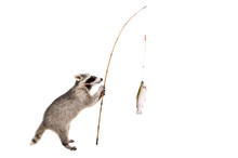Raccoon Standing With A Trout ...