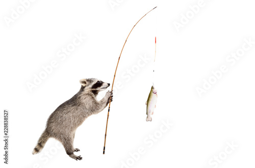 Raccoon standing with a trout caught on a fishing rod, isolated on white background